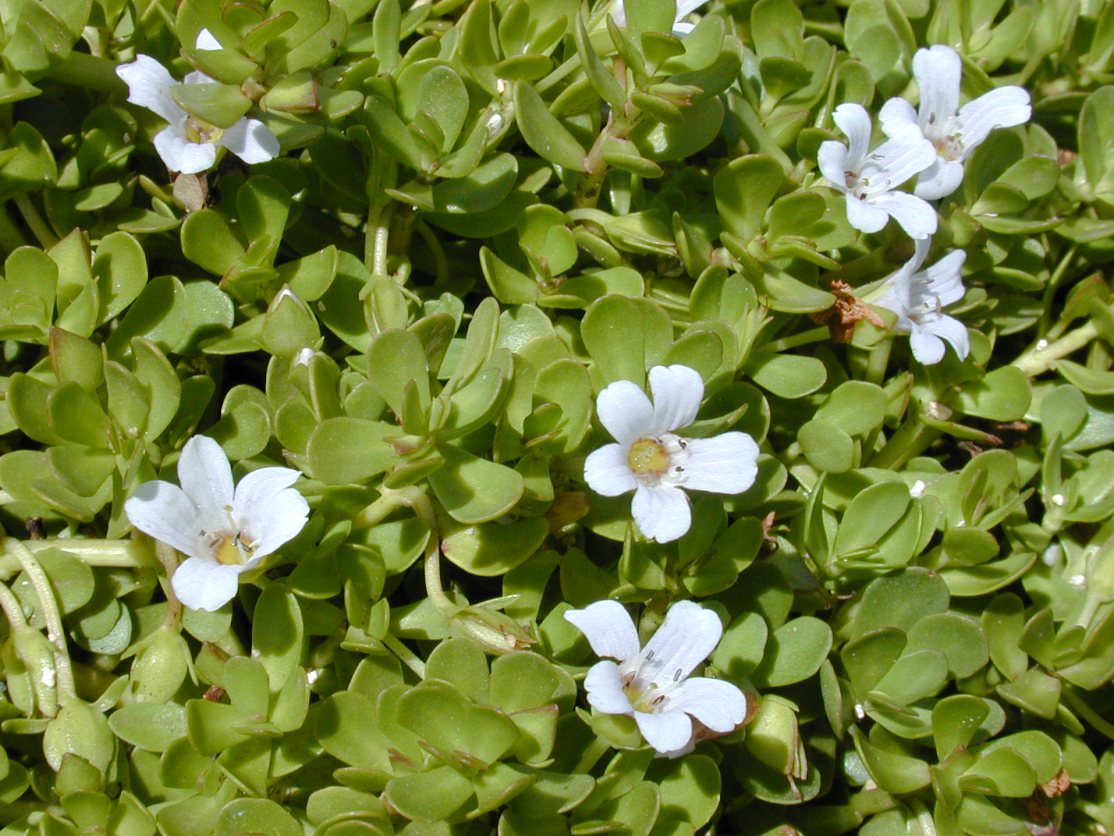 What Are The Health Benefits Of Brahmi Leaves