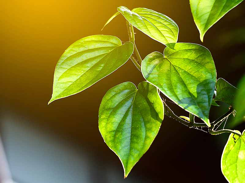 How Betel Leaves Are Good For Our Health