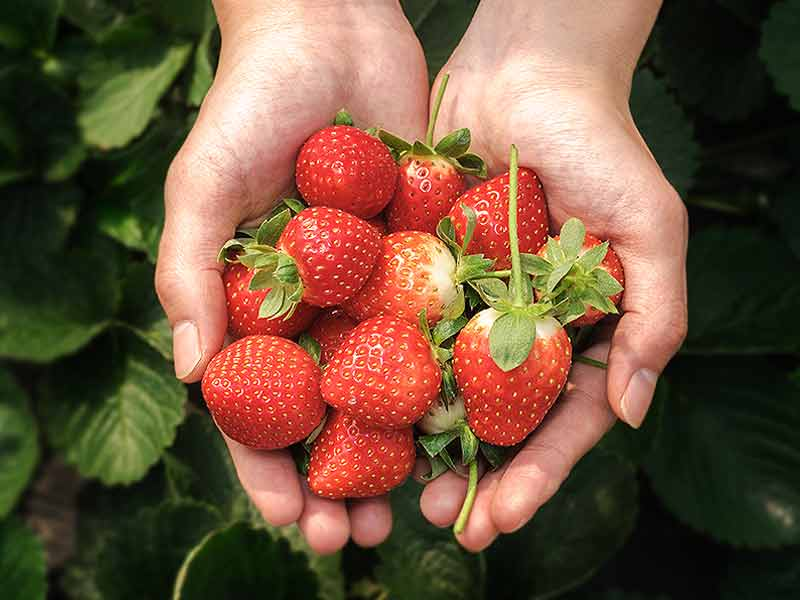 What are the health benefits of eating strawberries during winters