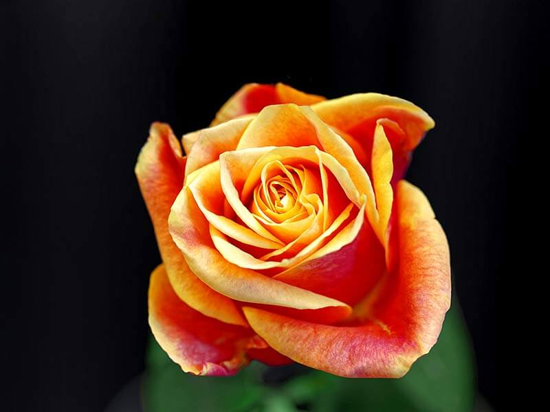 What is the meaning of different colour of roses and their importance