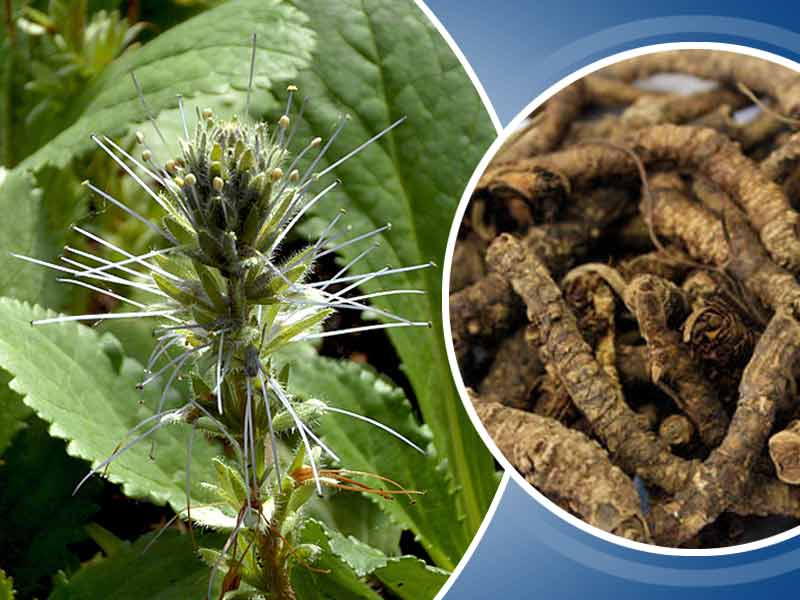 What Are The Health Benefits Of Kutki Herb