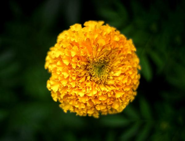 marigold flower prevent many health problem